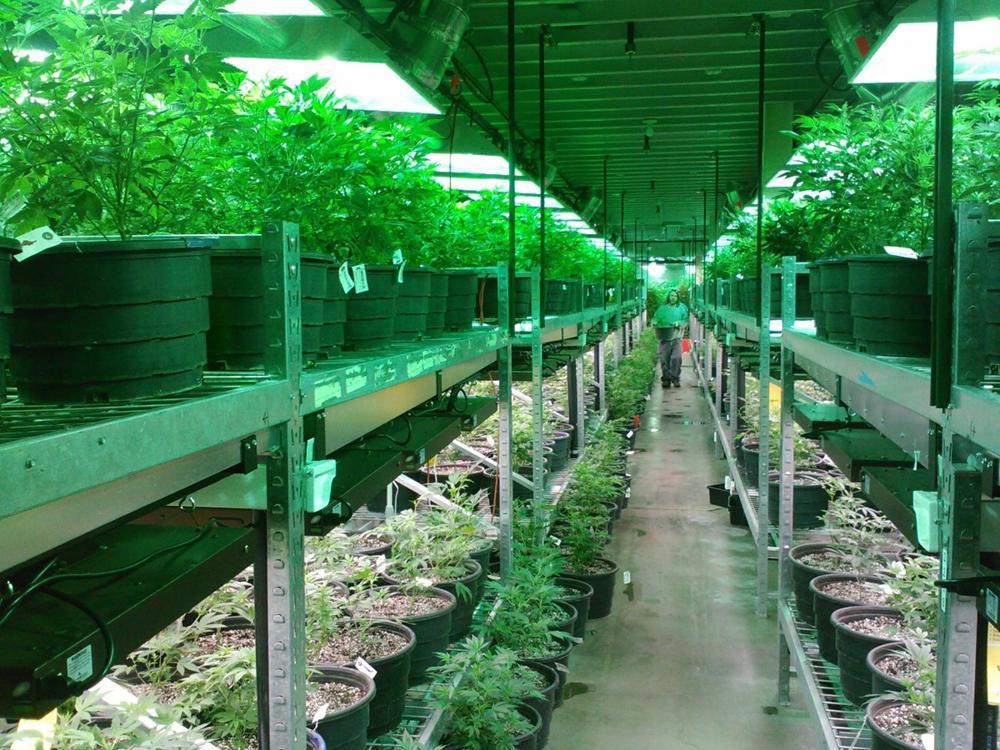大麻2.png